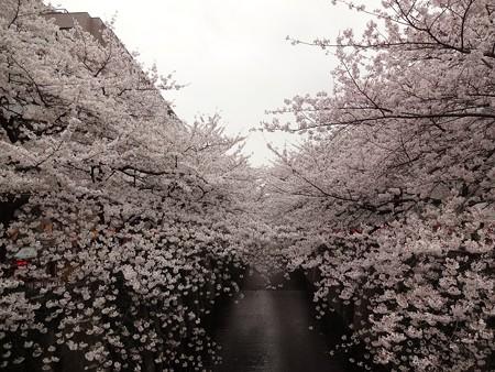 2013.3.25 目黒川の桜 中目黒駅から上流へ3つめの橋