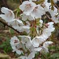 千島桜咲いてるよ