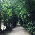 Photos: 沖縄 備瀬のフクギ並木