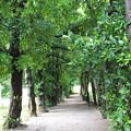 写真: 沖縄 備瀬のフクギ並木