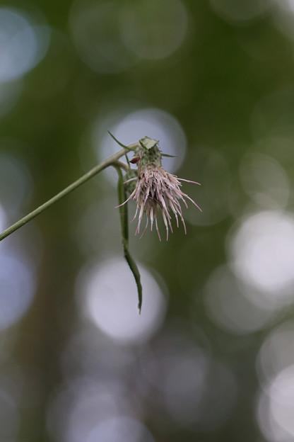 アズマヤマアザミ(東山薊)