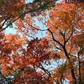 仰ぎ見る紅葉