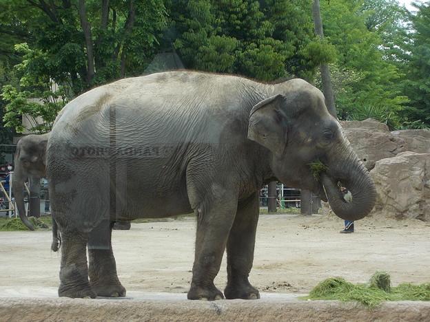 DSCN2961 - アジアゾウ