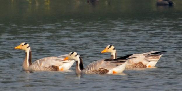 インドガン  Bar-headed Goose          DSC_2856