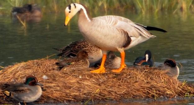 インドガン  Bar-headed Goose                        DSC_2862