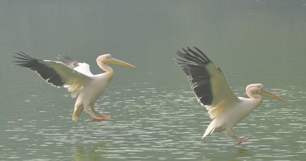 モモイロペリカン  Great White Pelican               DSC_2004