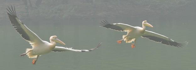 モモイロペリカン   Great White Pelican         DSC_2002