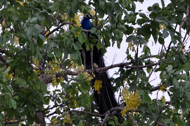 ゴールデンシャワーの大木にとまるインドクジャク
