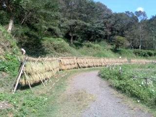 刈り取った稲。