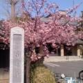 成福寺の河津桜。