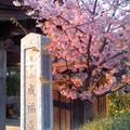 成福寺の夕桜(鎌倉市小袋谷)。