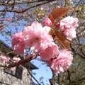 八重桜(極楽寺)。