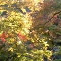 竜田の錦(11月6日、円覚寺)