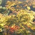 紅葉の錦(11月6日、円覚寺)