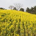 寒咲き菜の花 C04760