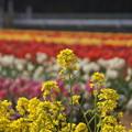 菜の花 C05459