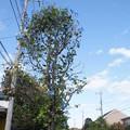 木に咲くアサガオ C07550