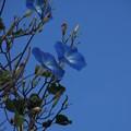 木に咲くアサガオ C07549
