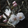 Photos: 桜_公園 F9270