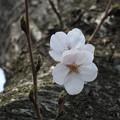 Photos: 桜_公園 F9277
