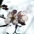 Photos: 桜_公園 F9282