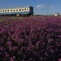 写真: 紫色のじゅうたんの上を走るキハ222@ひたちなか海浜鉄道湊線 中根-那珂湊 2014/03/22 #pentax_q