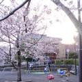 桜と夕日と