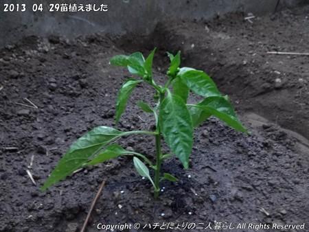 2013-04-29苗植えました (4)