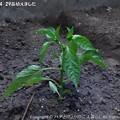 Photos: 2013-04-29苗植えました (4)