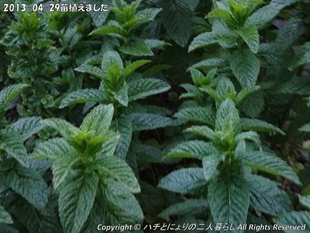 2013-04-29苗植えました (6)