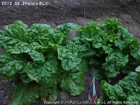 2013-04-29苗植えました (7)
