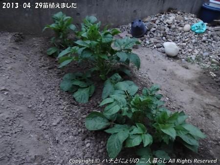 2013-04-29苗植えました (8)