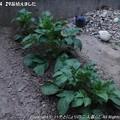 Photos: 2013-04-29苗植えました (8)