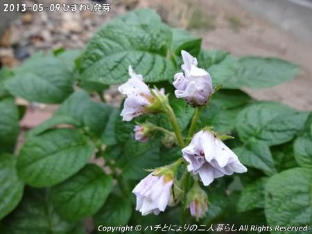 2013-05-09ひまわり発芽 (10)