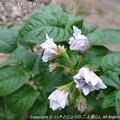 Photos: 2013-05-09ひまわり発芽 (10)