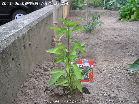 2013-06-08初収穫-ハチとにょり農園- (5)