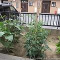 Photos: 2013-06-19補強しました-ハチとにょり農園- (8)
