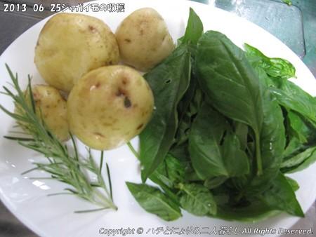 2013-06-25ジャガイモの収穫 (1)