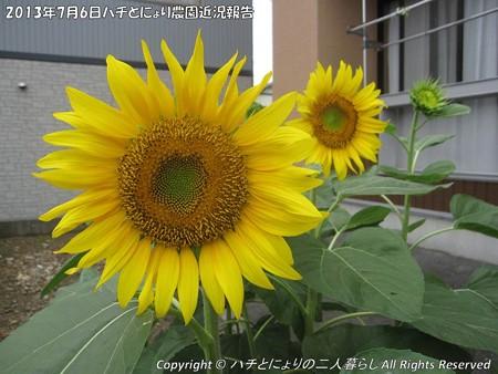 2013-07-06ハチとにょり農園近況報告 (1)