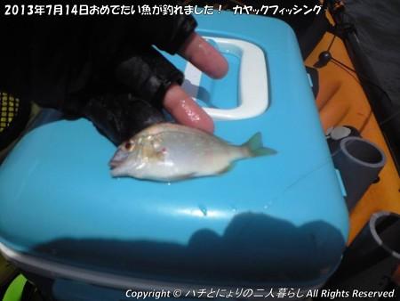 2013年7月14日おめでたい魚が釣れました!-カヤックフィッシング- (4)