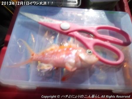 2013年12月1日イワシ大漁!! (5)
