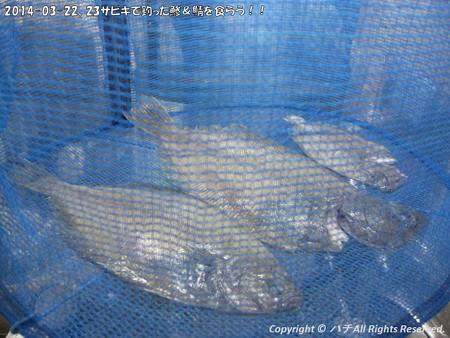 2014-03-22、23サビキで釣った鯵&鯖を食らう!! (6)
