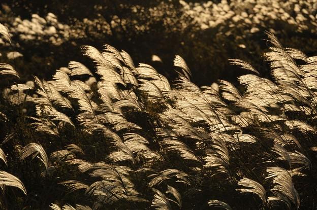 印旛沼3-金色ススキ