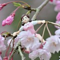 Photos: 0406-花見のフチ子さん-04