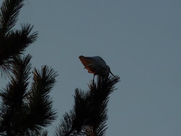 夕暮れの白鷺