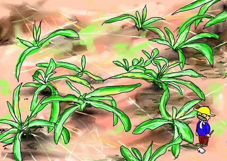 セイタカアワダチソウの新芽