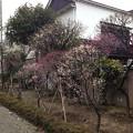 13.02.19. 亀戸天神社・梅1