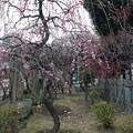 13.02.19. 亀戸天神社・梅9