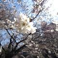 Photos: 13.03.19.江戸川3(文京区)