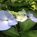 紫陽花・浜離宮恩賜庭園 (9)